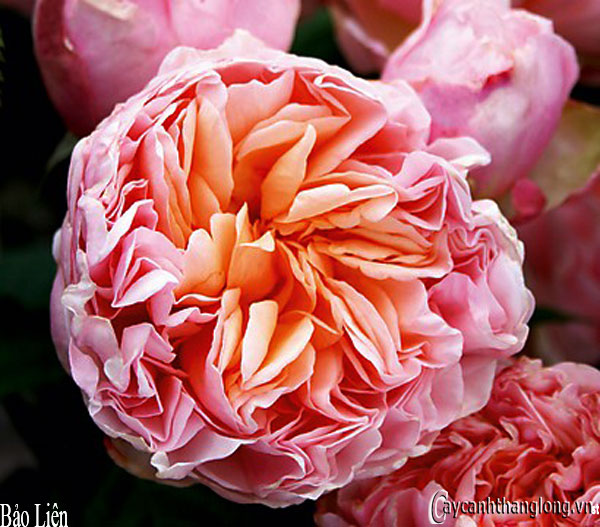 Hoa hồng leo Bảo Liên 99