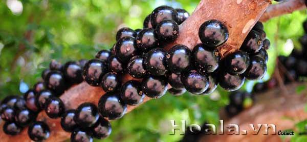 Cây nho thân gỗ - nho đất - nho brazil - quả trên thân