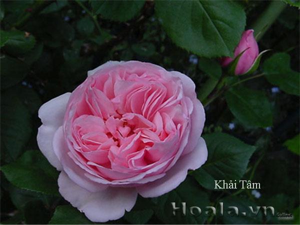 Cây hoa hồng leo Khải Tâm 118