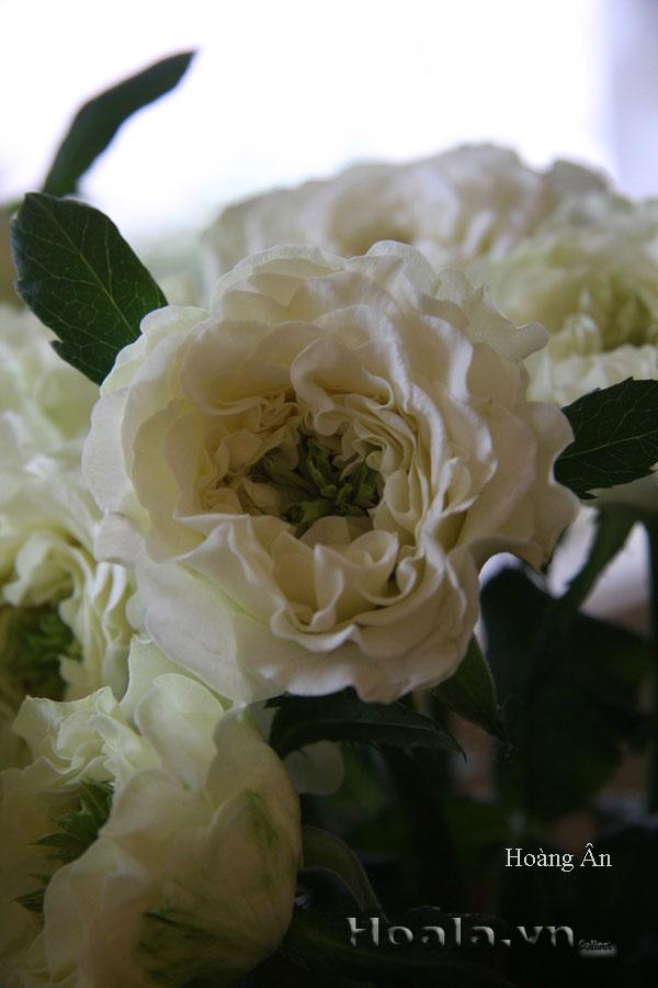 Cây hoa hồng leo Hoàng Ân 142