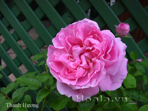 Cây hoa hồng leo Thanh Hương 122