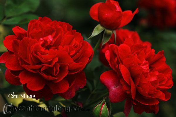 Cây hoa hồng leo Cẩm Nhung 164