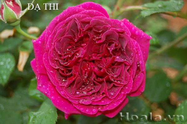 Cây hoa hồng leo Dạ Thi 167