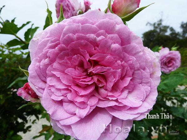 Cây hoa hồng leo Thanh Thảo 179