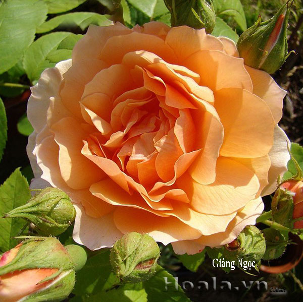 Cây Hoa hồng leo Giáng Ngọc 182