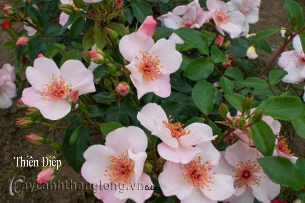 Cây Hoa hồng leo Thiên Điệp 184