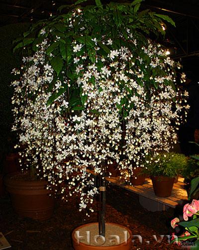 Cây hoa ngọc dạ minh châu