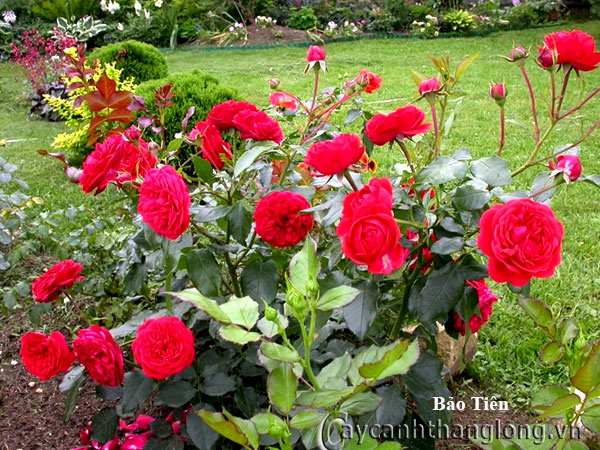 Cây hoa hồng leo Bảo Tiên 208
