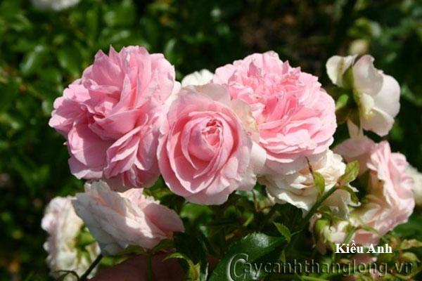 Cây hoa hồng leo Kiều Anh 210