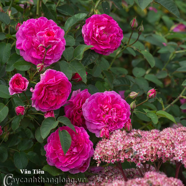 Cây hoa hồng leo Vân Tiên 226