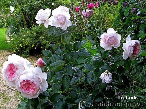 Cây hoa hồng leo Tú Linh 220