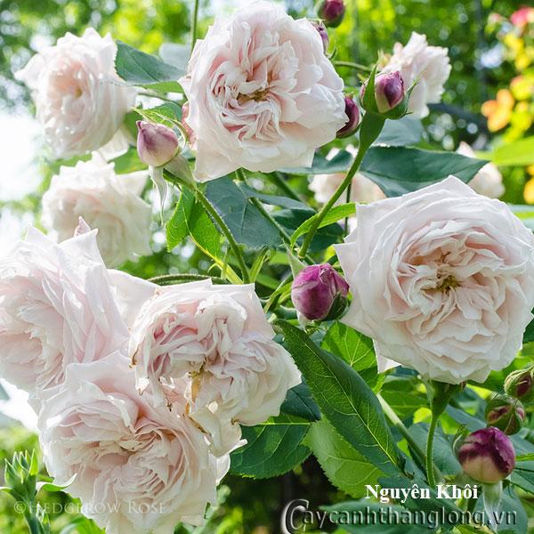 Cây hoa hồng leo Nguyên Khôi 228