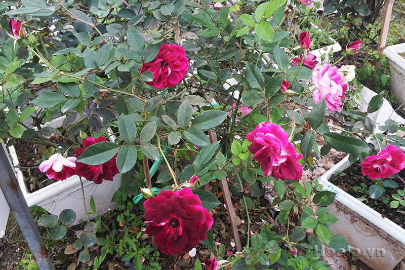 Cây hoa hồng leo Thiên Nhã 102
