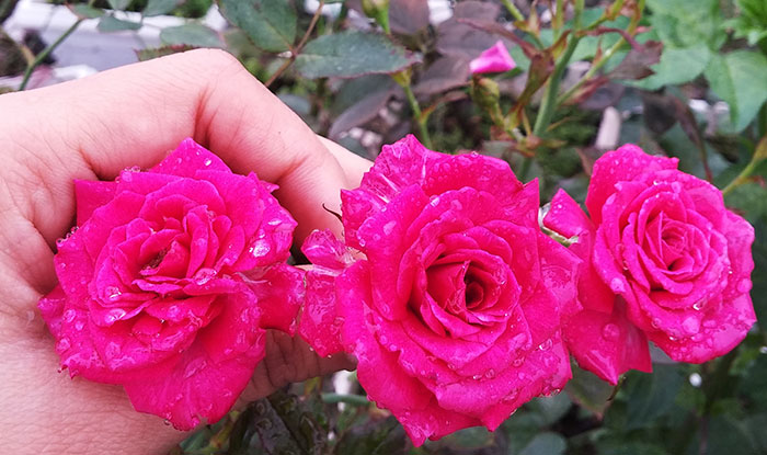 Cây hoa hồng leo Thúy Ngọc 209