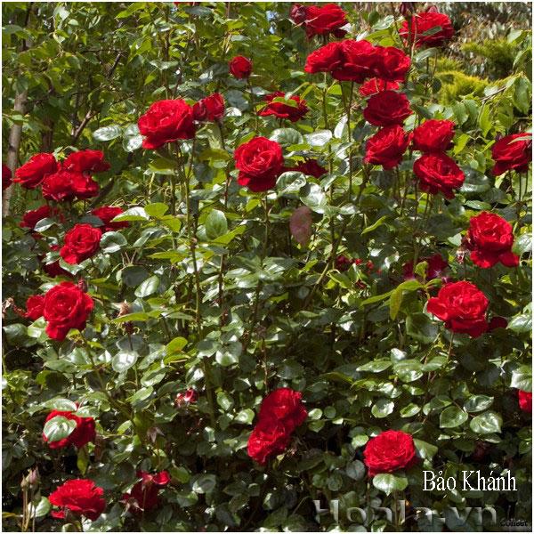 Hoa hồng leo Bảo Khánh 181