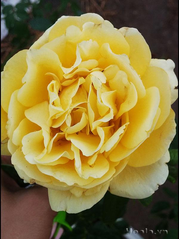 Hoa hồng ngoại Ái Linh 85