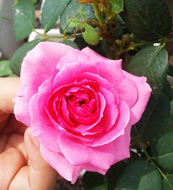 Cây hoa hồng leo Châu Loan 207