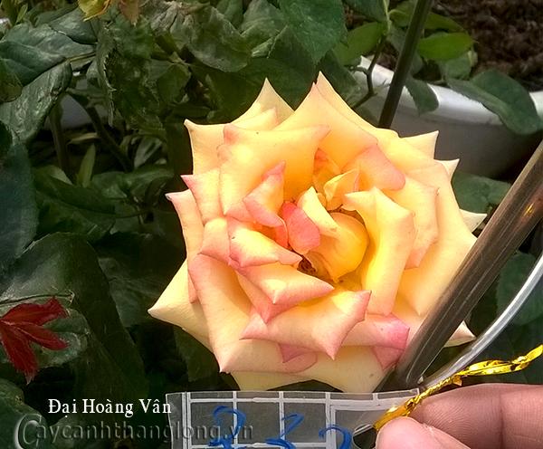 Hoa hồng Đại Hoàng Vân 232