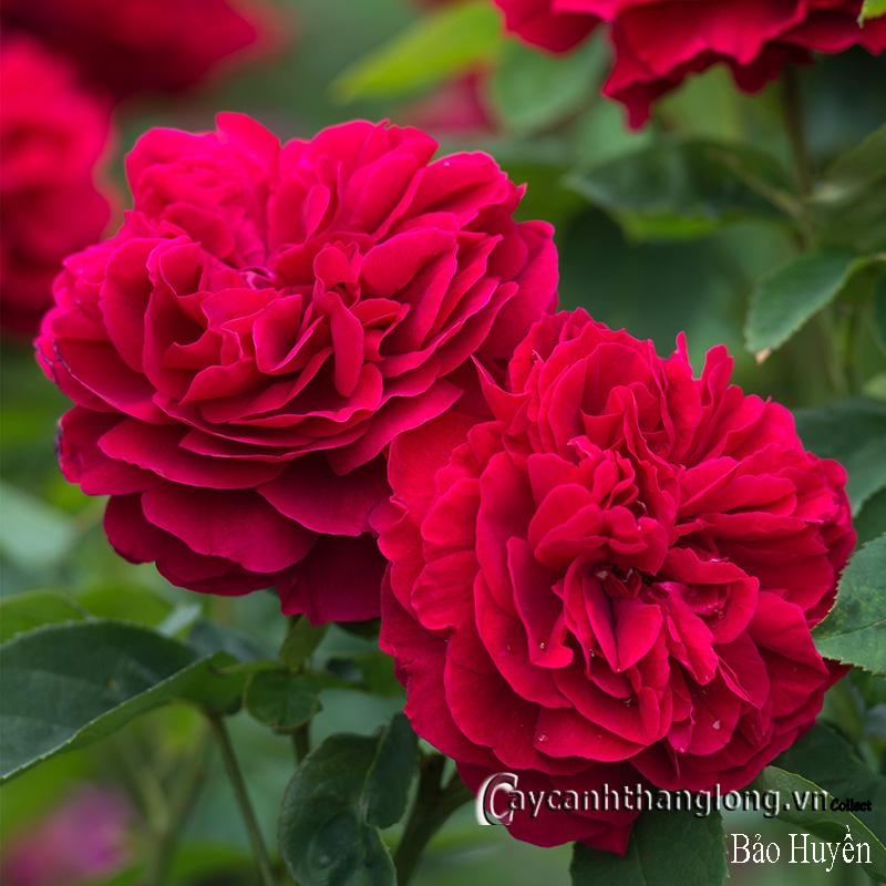Hoa hồng Bảo Huyền 254