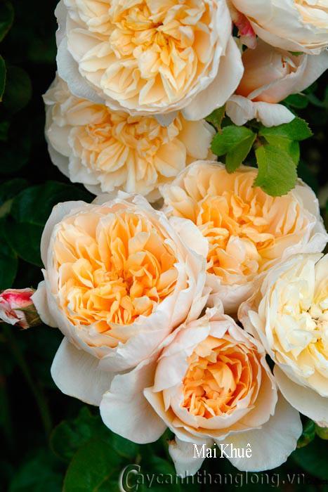Hoa hồng Mai Khuê 256