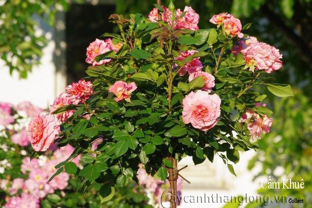 Hoa hồng Cẩm Khuê 258