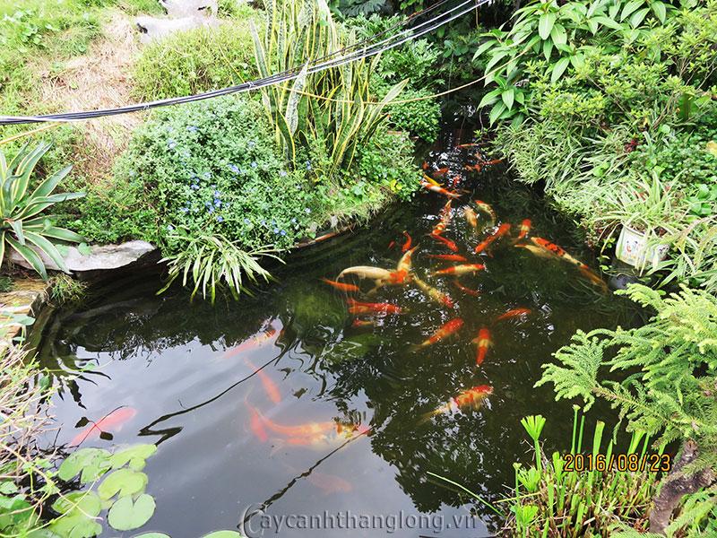 Cá koi Việt Nam