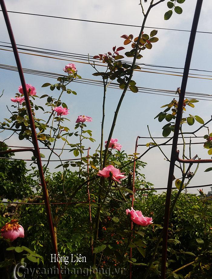 Hoa hồng leo Hồng Liên 90