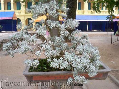Hoa Cúc mốc