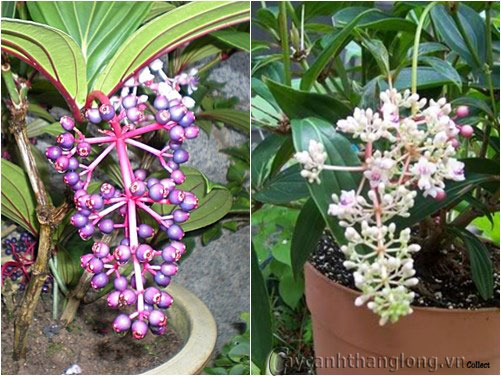 Cây nho hồng Châu Á- Showy Asian Grapes