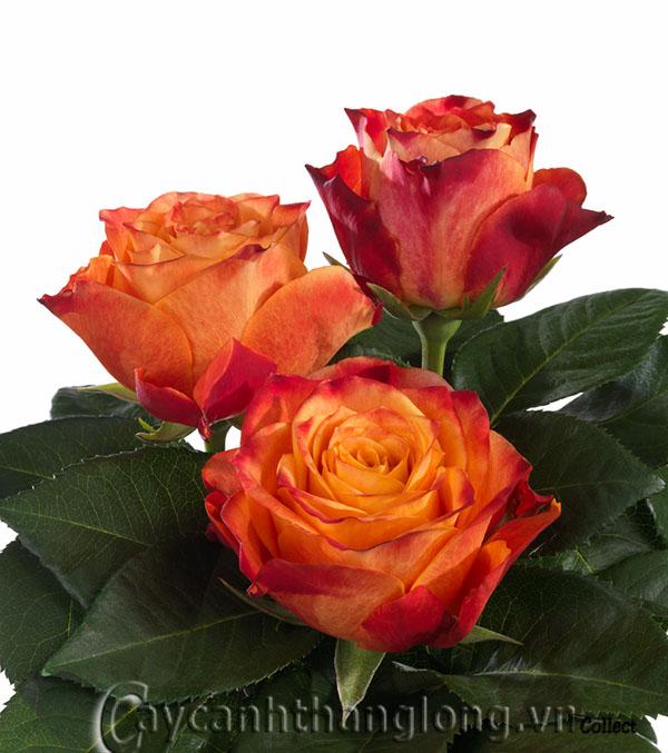 Hoa hồng Thái Minh Châu 269