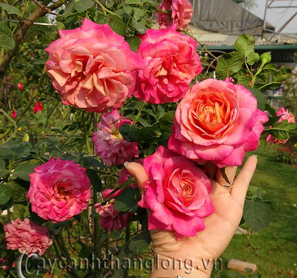 Cây hoa hồng leo Cẩm Thúy 161