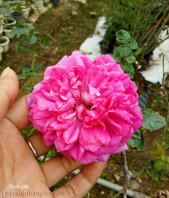 Cây hoa hồng leo Huyền Anh 174