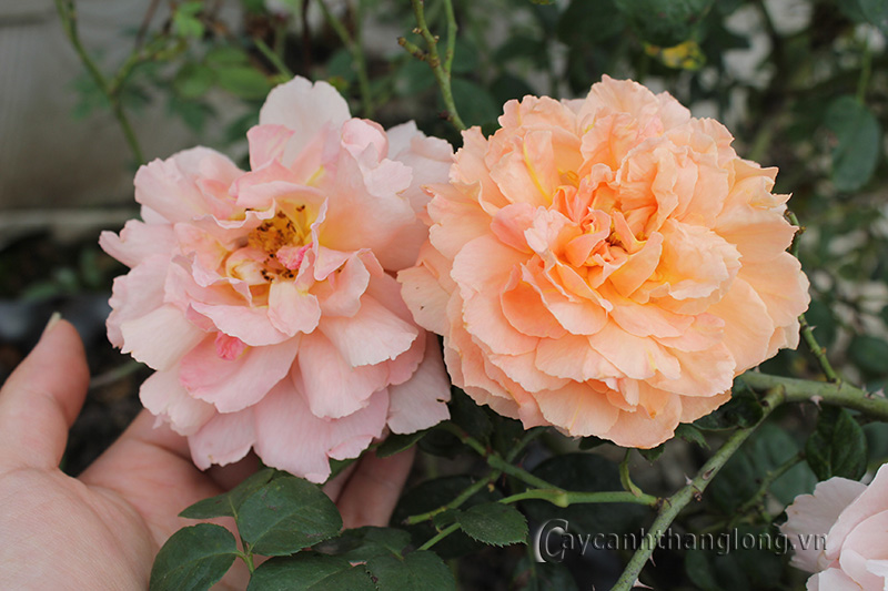 Hoa hồng Huyền Ân 264