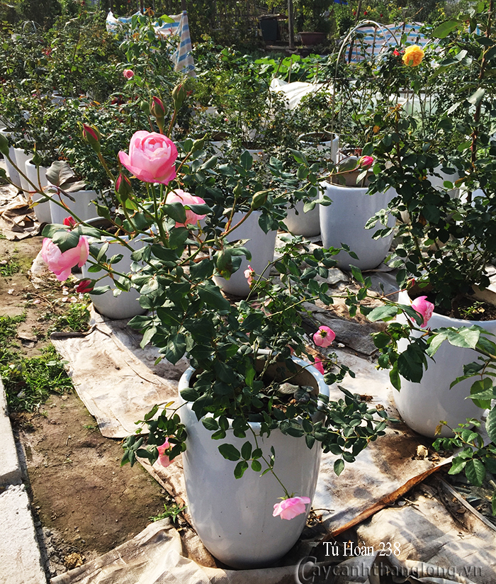 Hoa hồng Tú Hoàn 238