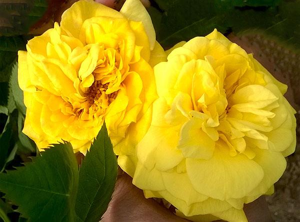 Hoa hồng Kim Hương 237