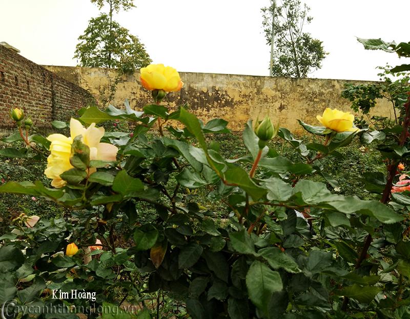 Hoa hồng Kim Hoàng 253