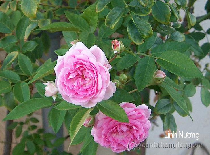 Hoa hồng Linh Nương 283