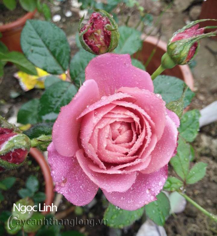 Hoa hồng Ngọc Linh 284