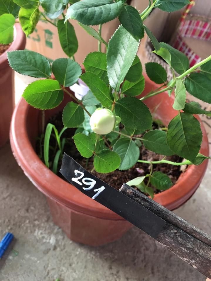 Hoa hồng Thanh Ngọc 291