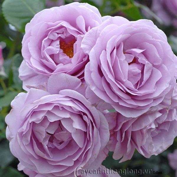 Hoa hồng Bích Lam 285
