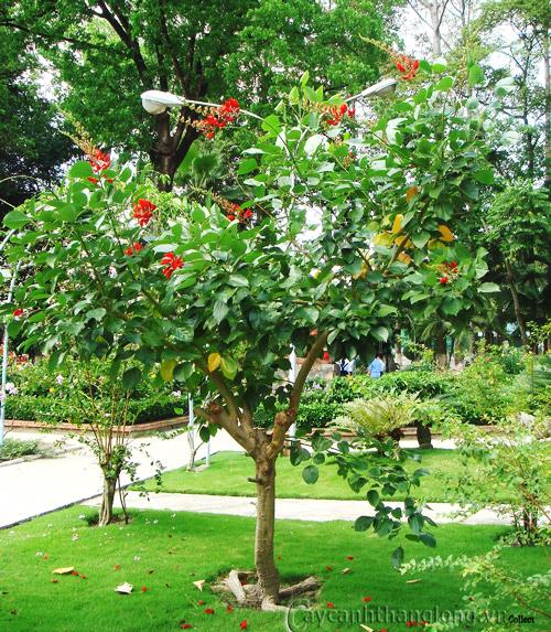 Cây Osaka hoa đỏ- Muồng hoa đỏ