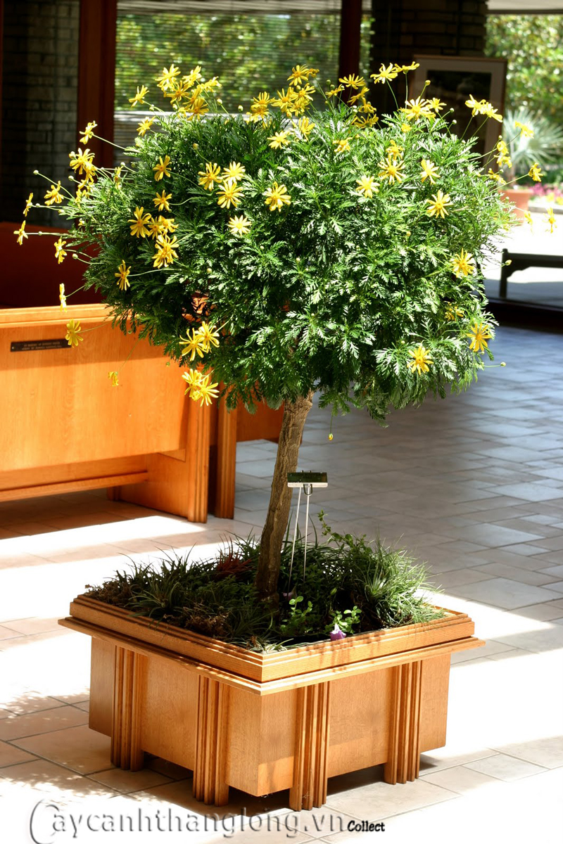 Cúc thân gỗ, Euryops