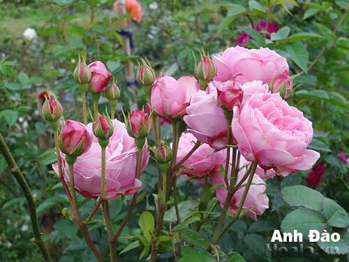 Hoa hồng Anh Đào 294