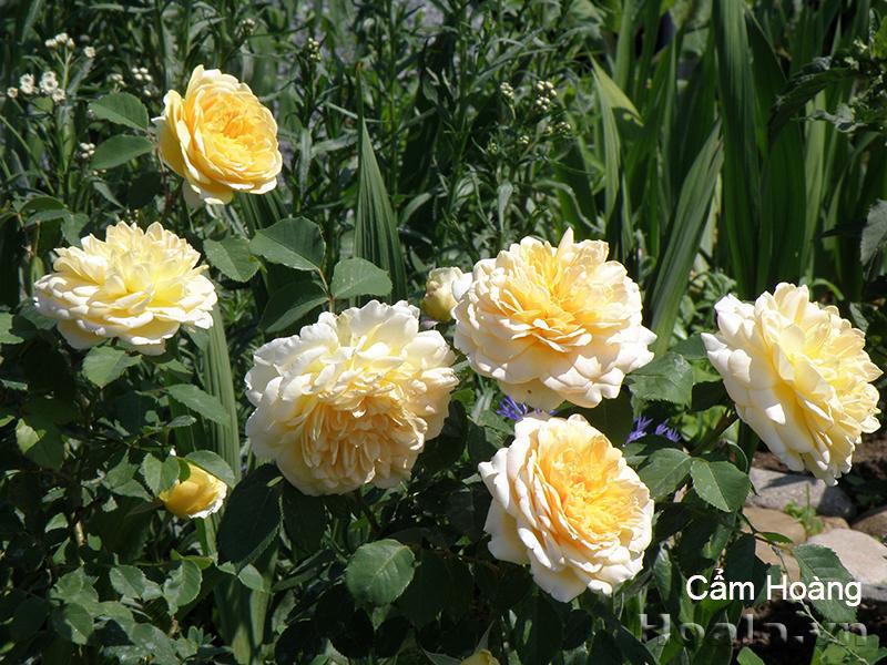 Hoa hồng Cẩm Hoàng 295