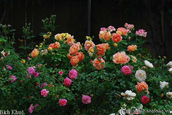 hoa hong ban cong bich khue