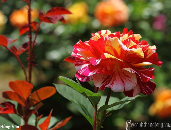 Hoa hồng leo nhập ngoại màu kẻ sọc độc đáo - Hồng Vân 103 quyến rũ