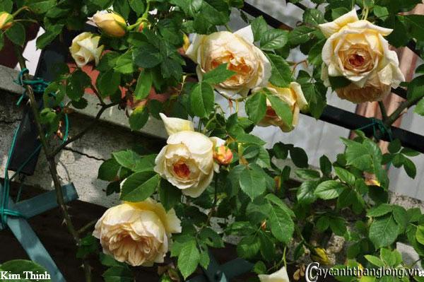 hoa hong ban cong - hong kim thinh
