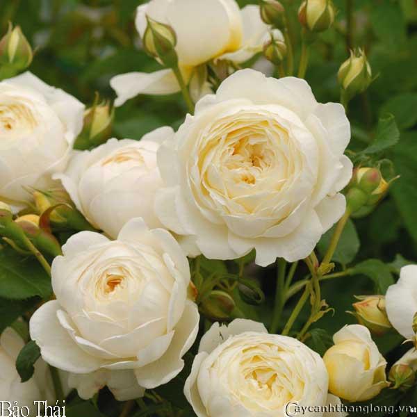 hoa hong david austin - hong bao thai