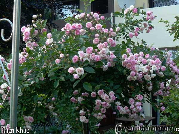 Hoa hong mau hong - Hong thien khue  25