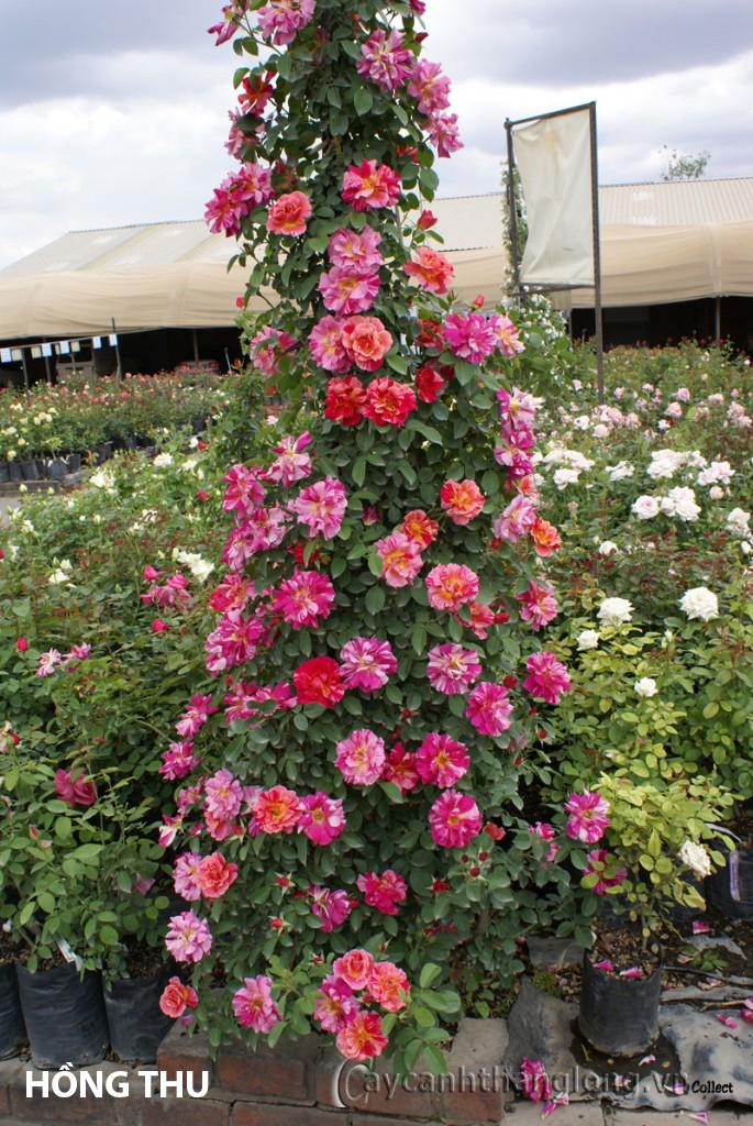 Cây hoa hồng leo nhập ngoại màu kẻ sọc độc đáo - Hồng Thu 132